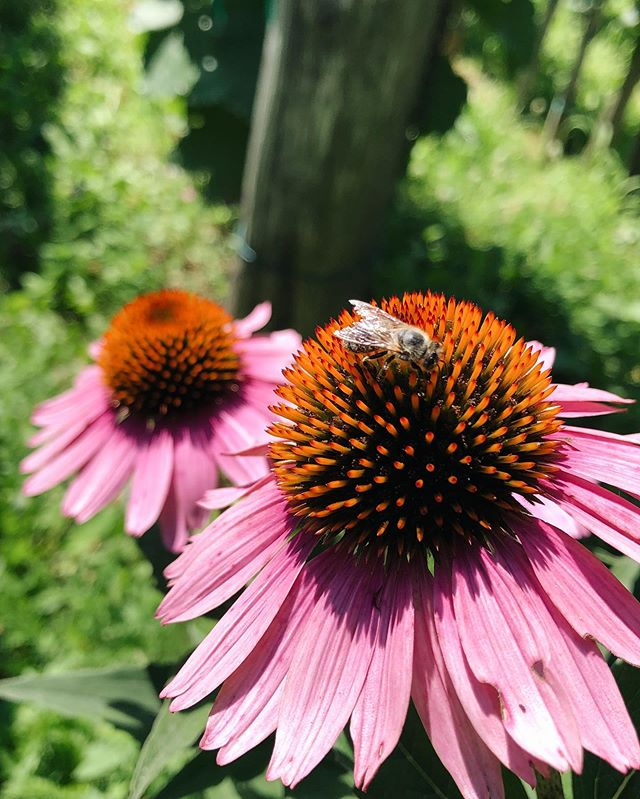 Purple coneflower / Echinacea purpurea 🌸 is a plant used for pharmaceutical products and herbal medicine 🍃 Flower is best known for its beneficial effects on the immune system ❣️ You can see a lot of those around our apiary ☺️ #antonhoney #beekeeping #honeybees #beelove #freebees #carniolanbees #beekeepinglife #savethebees #beehive #slovenianbeekeeping #nature #beethinking #purpleconeflower